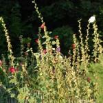 Stockrosen im Garten des Naturferienhauses